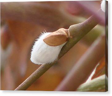 Pussy Willow Canvas Print by Brenda Conrad