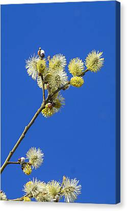 Pussy Willow Catkins Canvas Print by Chris Smith