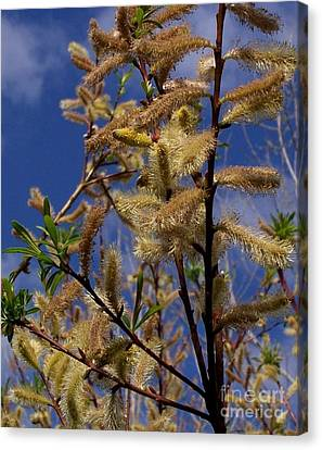 Pussy Willow In Bloom Canvas Print by David Neace