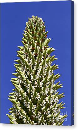 Puya Raimondii Flowers Canvas Print by James Brunker