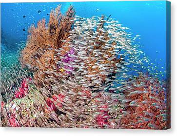 Pygmy Sweepers And Gorgonian Sea Fans Canvas Print by Georgette Douwma