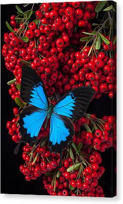 Pyracantha And Butterfly Canvas Print by Garry Gay