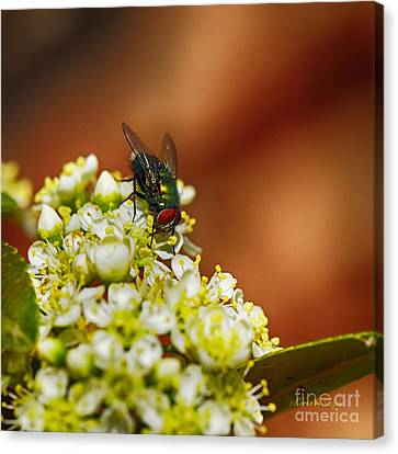 Canvas Print featuring the photograph Pyracantha And Fly by Karen Slagle