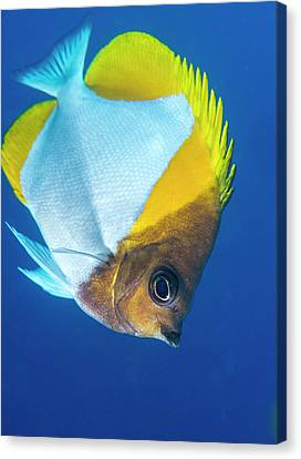 Pyramid Butterflyfish On A Reef Canvas Print by Louise Murray
