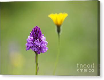 Pyramidal Orchid Canvas Print by Tim Gainey