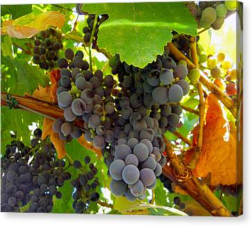 Pyrenees Winery Grapes Canvas Print by Michele Avanti