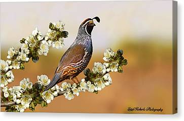 Quail In Cherry Tree Canvas Print by Laird Roberts