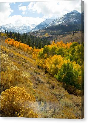 Quakies And Mountains Canvas Print