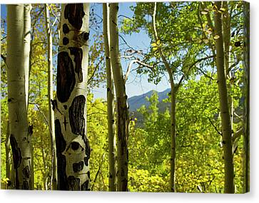 Populus Tremuloides Canvas Print - Quaking Aspen In Full Color Showing by Maresa Pryor
