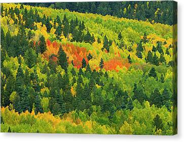 Quaking Aspen Canvas Print - Quaking Aspen In Stages Of Color by Maresa Pryor