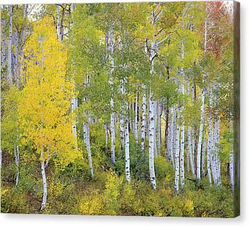 Quaking Aspen Canvas Print - Quaking Aspen (populus Tremuloides by Howie Garber