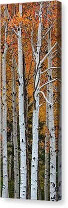 Populus Tremuloides Canvas Print - Quaking Aspen Populus Tremuloides by Panoramic Images