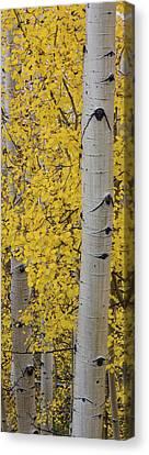 Populus Tremuloides Canvas Print - Quaking Aspen Populus Tremuloides Tree by Panoramic Images