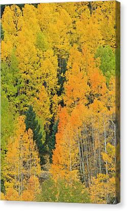 Quaking Aspens In A Fall Glow Canvas Print