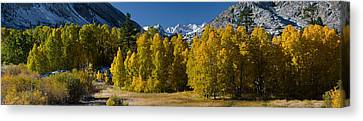 Quaking Aspen Canvas Print - Quaking Aspens Populus Tremuloides by Panoramic Images
