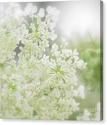 Queen  Anne Lace Canvas Print by France Laliberte