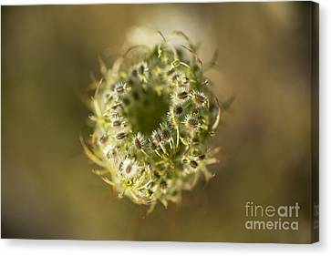 Queen Anne's Lace Going To Seed Canvas Print by Charmian Vistaunet