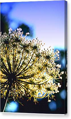 Queen Anne's Lace II Canvas Print by Diane Merkle
