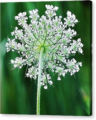 Canvas Print featuring the photograph Queen Ann's Lace by Al Fritz