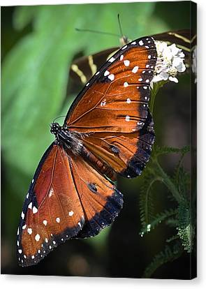 Nature Study Canvas Print - Queen Butterfly by Adam Romanowicz