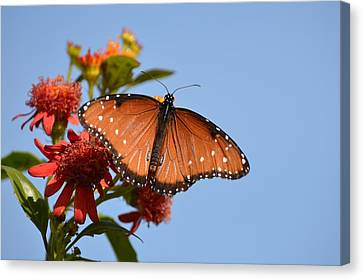 Canvas Print featuring the photograph Queen Butterfly by Debra Martz