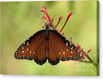 Queen Butterfly Canvas Print by Meg Rousher