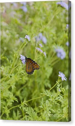 Agnus Canvas Print - Queen Butterfly by Richard and Ellen Thane