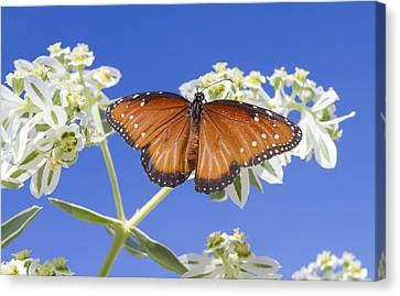 Queen Butterfly Canvas Print