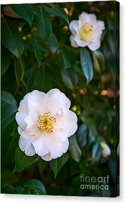 Queen Camellia Canvas Print by Jamie Pham