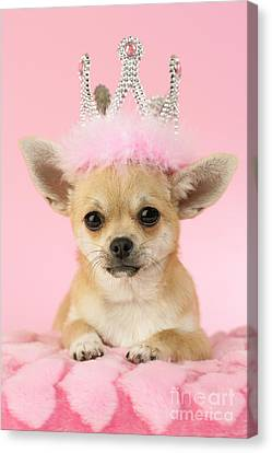 Queen Chihuahua Canvas Print by Greg Cuddiford