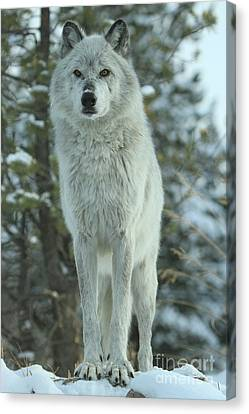 Queen Of The Rockies Canvas Print