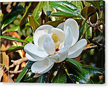 Queen Of The South Canvas Print by Linda Brown