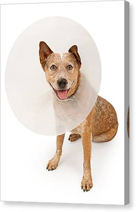 Cattle Dog Canvas Print - Queensland Heeler Dog Wearing A Cone by Susan Schmitz