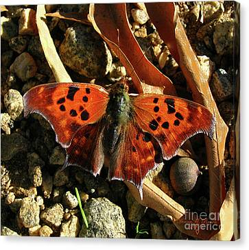 Canvas Print featuring the photograph Question Mark Butterfly by Donna Brown
