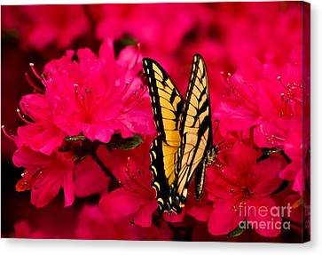 Quick Nip Of Azalea Canvas Print
