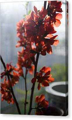 Quince Blossoms Canvas Print by Samantha Morris