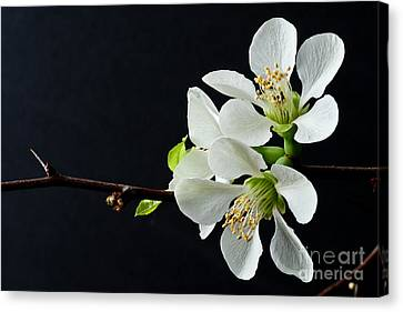 Quince Branch 2012 Canvas Print
