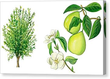 Fresh Canvas Print - Quince Tree by Anonymous
