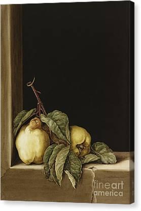 Quinces Canvas Print by Jenny Barron