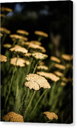 Canvas Print featuring the photograph Quivering Yarrow by Dave Garner