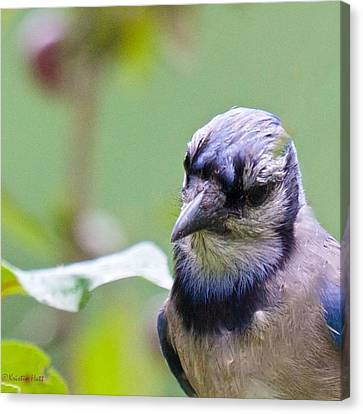 Quizzicle Blue Jay Canvas Print