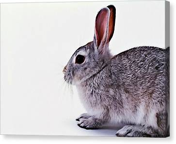 Rabbit 1 Canvas Print by Lanjee Chee