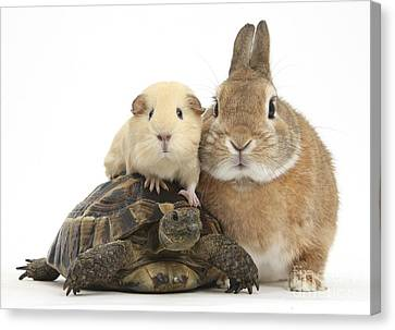 Rabbit, Tortoise And Guinea Pig Canvas Print by Mark Taylor