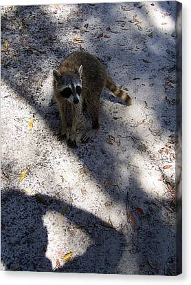 Raccoon 0311 Canvas Print