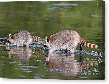 Raccoon Mother And Baby Canvas Print