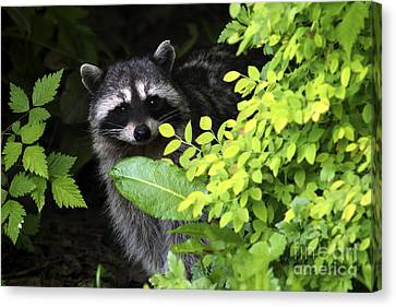 Raccoon Peek-a-boo Canvas Print by Sharon Talson