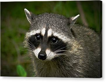 Raccoon Canvas Print by Robert Bales