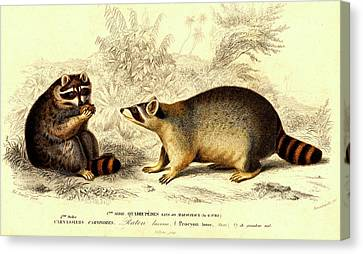 Raccoons Canvas Print by Collection Abecasis