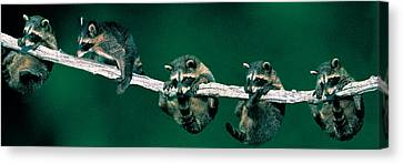 Raccoons Concept Alberta Canada Canvas Print by Panoramic Images