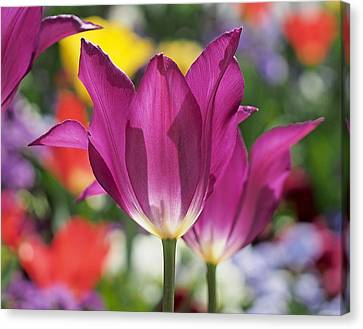 Radiant Purple Tulips Canvas Print